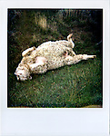 A dead sheep on the high plains outside of Douglas, Wyoming...Scenes from around Douglas, Wyoming...Alzheimers.  Douglas, Wyoming..Mike Eberspecher was diagnosed at 60 with early onset Alzheimers.  The disease, a subset of dimentia, gradually impairs the brain's ability to form new memories, simultaneously undoing connections that make up old memories.  Patients generally experience memory loss from the present, backwards.  Early onset Alzheimers tends to progress quicker in younger patients. ..Carolyn Eberspecher has been caring for her husband, Mike, for the last five years.  Over time, he has gradually lost his ability to care for himself and relies on her for most of his needs.  In April of 2010, Carolyn will place her husband in an Alzheimer's care unit in the town's nursing home.  .Carolyn Eberspecher attends church in Douglas, Wyoming.  Carolyn and Mike attend separate churches.  After Mike was diagnosed with Alzheimers, he returned to attending Mormon church, a tradition which had fallen by the wayside for most of his adult life.