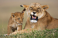 Lioness snarling and affectionate cub aged 9-12 months (Panthera leo), Maasai Mara National Reserve, Kenya.