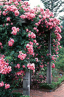 Rosa American Pillar climbing rose over trellis, pink flowers, bench arbor