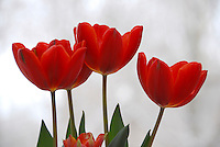 Open red tulips in a row with sheer curtain behind-- redness and romance