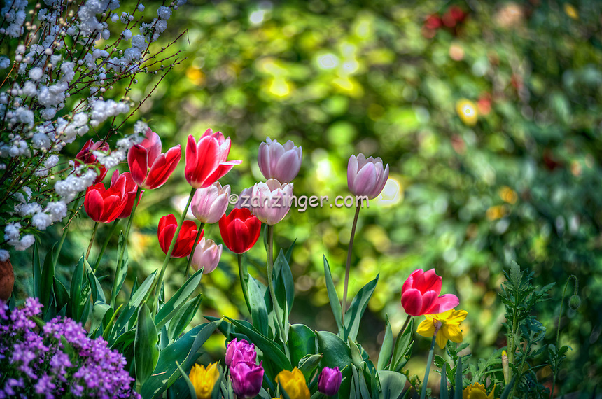Descanso Gardens, La Canada, Flintridge, Tulips, botanic, colorful, blooming, spring, garden, horticulture
