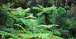Tree Fern, Kincumba Mountain, NSW