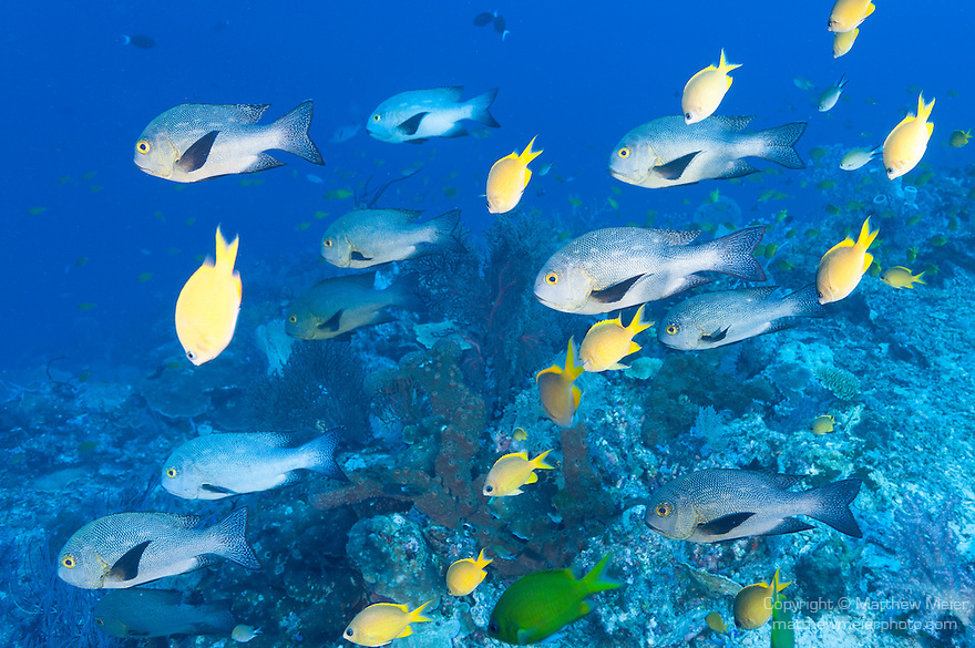 Misool, Raja Ampat, Indonesia; an aggregation of Midnight Snapper and Golden Damselfish swimming in blue water above the coral reef
