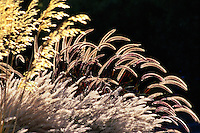 Seed heads of Fountain Grass, Pennisetum setaceum 'Rubrum' (back-lit)