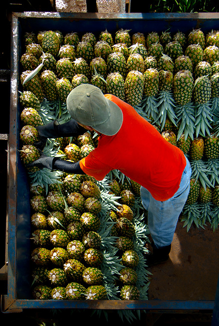 Pineapple worker loads and organizes picked pineapples onto the back of a trailer.  Costa Rica is one of the worlds biggest exporters of pineapples.