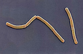 Bacillus megaterium Bacteria. SEM X8,000. Bacillus megaterium is used to produce synthetic penicillin.Bacillus megaterium is a non pathogenic soil dwelling bacteria. It is widely used in the biotech industry because of its unique characteristics such as the enzymes it produces, its large size, and its efficient sporulation to germination process. Bacillus megaterium's ability to produce spores allows it to survive harsh conditions such as a hot desert.