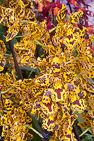 Colmanara aka Odontocidium Wildcat orchid in wild patterns