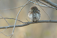 A pearlspotted owl  (glaucidium perlatum) in the early morning light. This is very small owl, often day-active and is frequently mobbed by other small birds.<br /> Moremi, Botswana.<br /> September 2007.