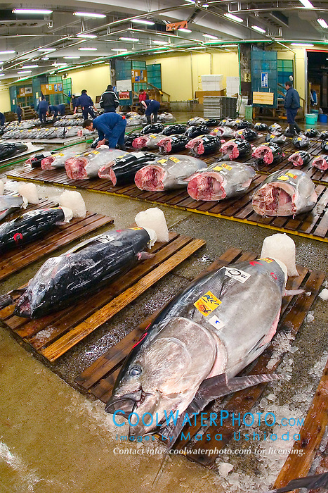 raw bluefin tunas, Thunnus sp., getting set for auction, Tsukiji Fish Market or Tokyo Metropolitan Central Whalesale Market, the world's largest fish market  hadling over 2500 tons and over 400 different kind of fresh sea food per day