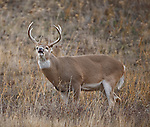Whitetail buck lip curling in the rutting season