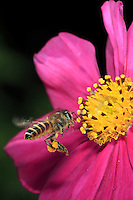 A cerana bee is fying to a aster flower.