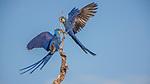 Hyacinth macaws, Brazil