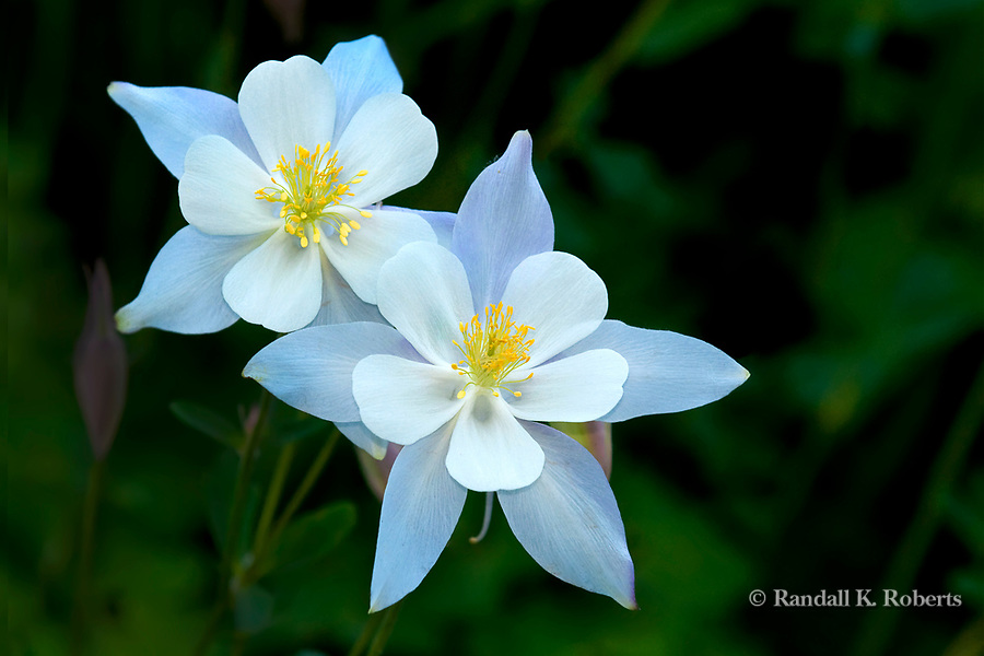 colorado columbine flower  flower, Beautiful flower