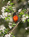Baltimore Oriole (Icterus galbula) male foraging amid apple blossom, New York, USA