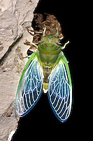Cicada drying new wings