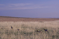 Lesser Prairie-Chicken, Tympanuchus pallidicinctus, males and females on lek displaying, Canadian, Panhandle, Texas, USA, February 2006