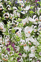 Salvia sclarea 'Vatican White' in flower, Clary Sage alba form