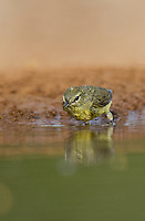 592210037 a wild orange-crowned warbler vermivora celata  wades into a pond for a bath on santa clara ranch starr county texas united states