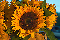 Sunflowers, Hayground Market, Water MIll, New York, Long Island