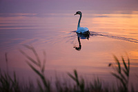 Mute Swan (Cygnus olor) swimming in lagoon at sunset, Camargue, France