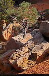 Pinyon Pine, Cassidy Trail, Red Canyon, Dixie National Forest, Utah