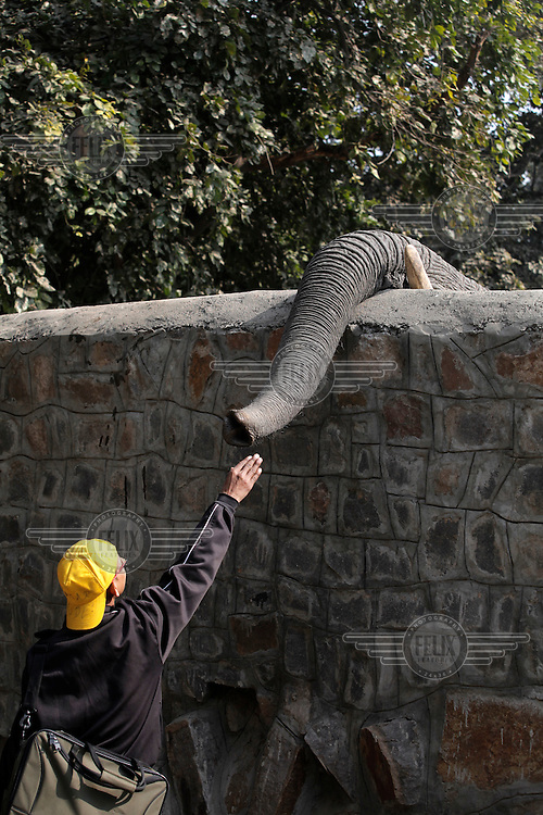 An elephant in Delhi Zoo use its' trunk to explore over a wall and a young man grabs the opportunity to touch it.
