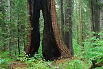 South Grove at Calaveras Big Tree State Park