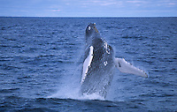 Humpback whale Megaptera novaeangliae Breaching. Bear Island, North east atlantic
