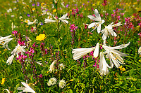 St Bruno's Lily ( Paradisea lilliastrum ). Alpine summer meadow.  Bernese Alps