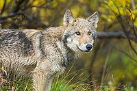 Wolf pup of the year, Denali National Park, interior, Alaska.
