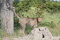 A cheetah standing alert next to a termite mound, Botswana, Africa