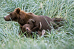 Alaskan Brown Bear (Ursus arctos) with cub playing in Southeast, AK