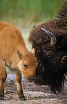 Bison cow and calf in a tender moment