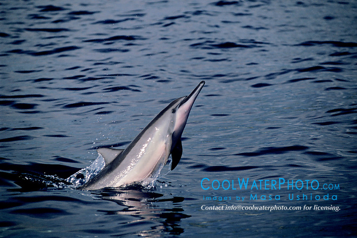 spinner dolphin calf jumping, Stenella longirostris, Kona, Big Island, Hawaii, Pacific Ocean