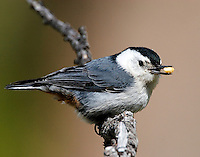 This Nuthatch has a pine nut prize. Nuthatches are omnivorous, eating mostly insects, nuts and seeds. They forage for insects hidden in or under bark by climbing along tree trunks and branches, sometimes upside-down. They forage within their territories when breeding, but may join mixed feeding flocks at other times. Their habit of wedging a large food item in a crevice and then hacking at it with their strong bills gives this group its English name. Calcite Cliffs, Yellowstone.