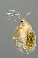 Water Flea (Daphnia magna)  female with eggs.