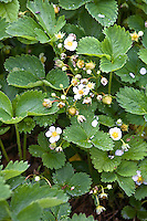 Strawberry plants in flower.