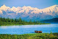 Wonder Lake, Bull moose feeds on vegetation, Alaska mountains in the distance, Denali National Park, Alaska