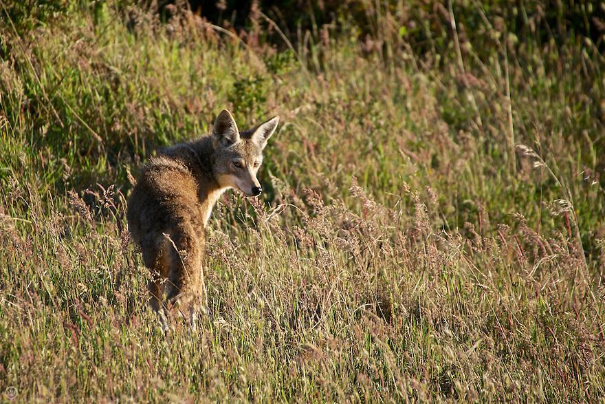 North America, USA, California, Point Reyes National Seashore. Coyote.