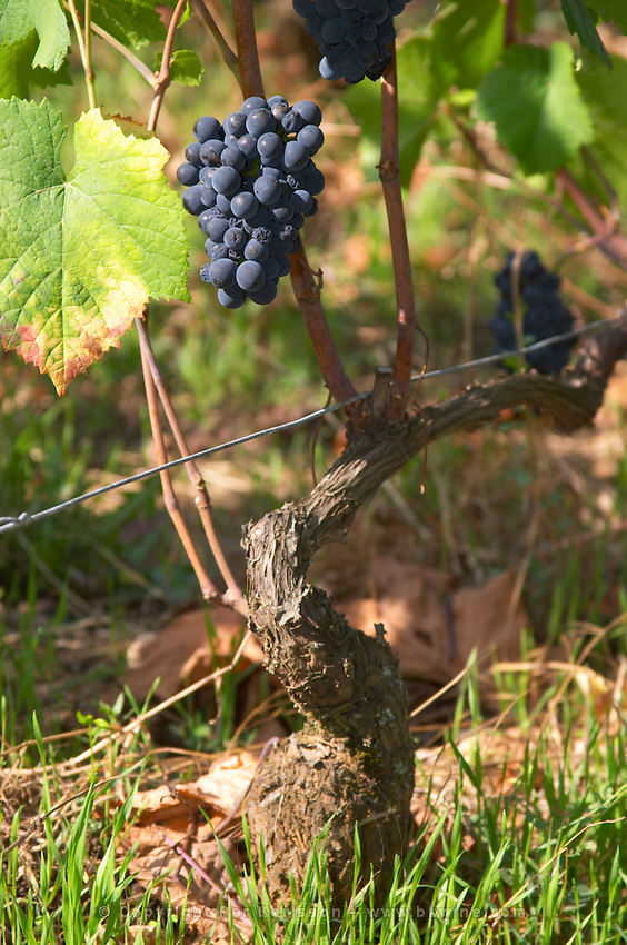 pinot noir guyot simple training vineyard dom rossignol trapet gevrey-chambertin cote de nuits burgundy france