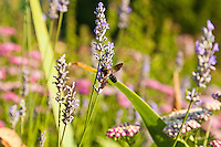A Honey Bee (Apis) feeds on lavender flowers in a garden.