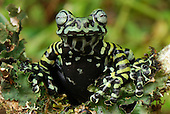 Tiger Tree Frog (Hyloscirtus tigrinus), Pasto, Depart. Narino, Colombia