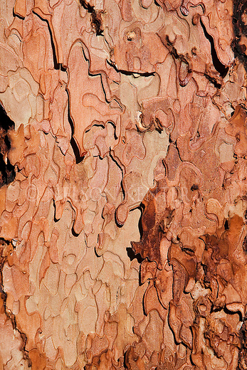Close up of patterns in ponderosa pine tree bark