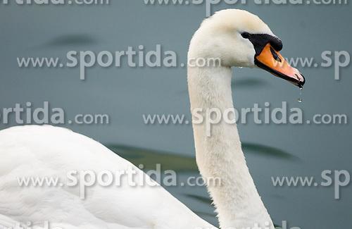 Swan during 54th Prvomajska Regatta Bled 2013, on April 21, 2013, at Lake Bled, Bled, Slovenia. (Photo By Vid Ponikvar / Sportida.com)
