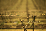 Bud break in Pinot Noir vineyard near Dundee, Oregon