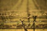 Bud break in Pinot Noir vineyard near Dundee, Oregon