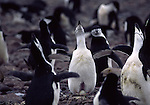 chinstrap penguins with eggs