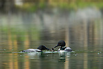 A pair of common loons is seen here caring for their chick in a small lake in Banff National Park, Alberta, Canada. g