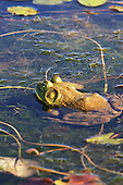 Bullfrog,   they have large and distinct tympanum (ear) just behind and bellow the eye