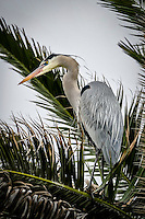 A Great Blue Heron nesting in a palm tree at Bolsa Chica Ecological Preserve in Huntington Beach, California keeps an eye open for a meal.